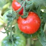 tomato-400x400